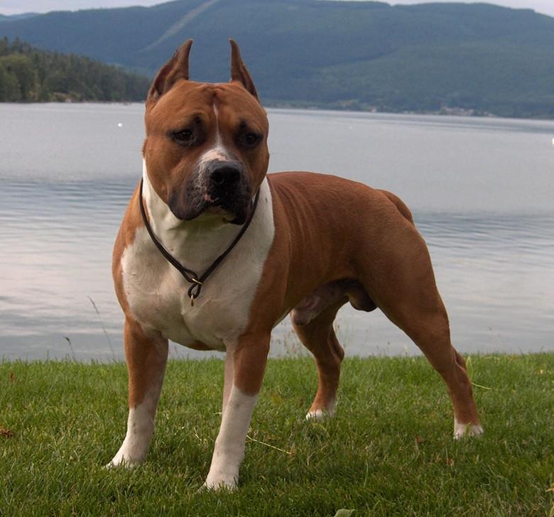 собака породы американский стаффордширский терьер
