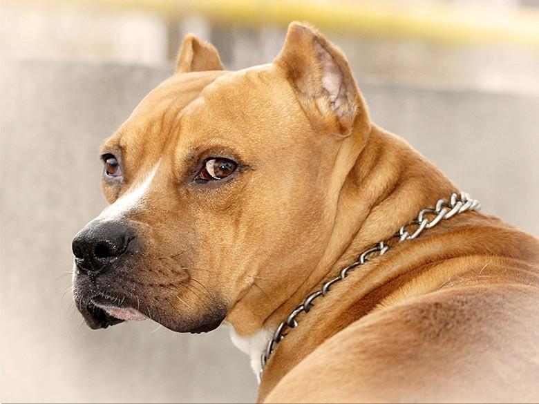 красивая бойцовская собака