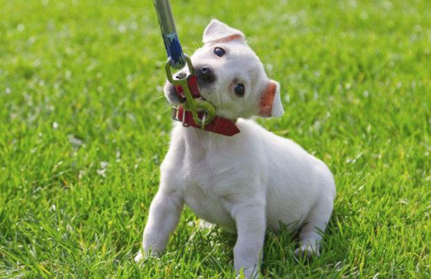 Учим собаку к поводку