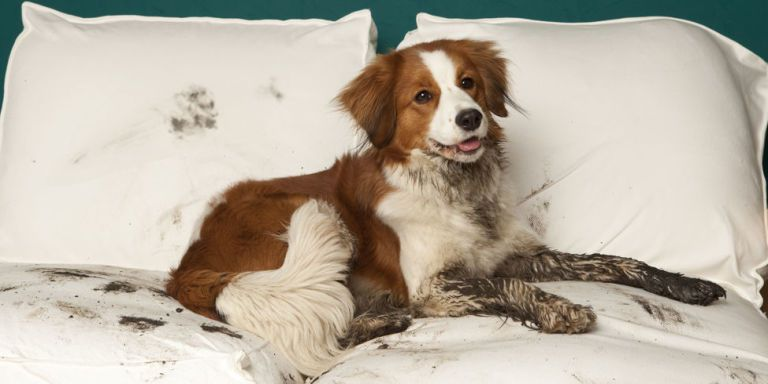 Грязная собака лежит на кровати фото