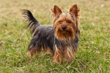 йоркширский терьер_собака для пожилого человека