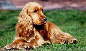 кокер-спаниель_собака для пожилого человека