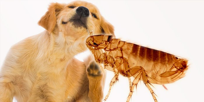 Блоха и собака
