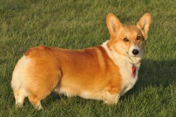 вельш-корги пемброк_собака для пожилого человека