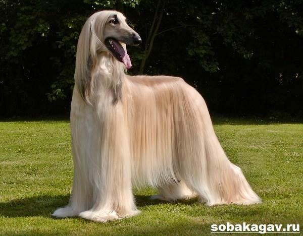 Афганская-борзая-собака-Описание-особенности-уход-и-цена-афганской-борзой-2