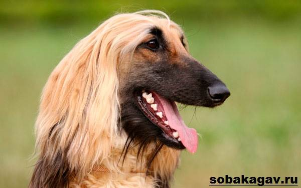 Афганская-борзая-собака-Описание-особенности-уход-и-цена-афганской-борзой-6