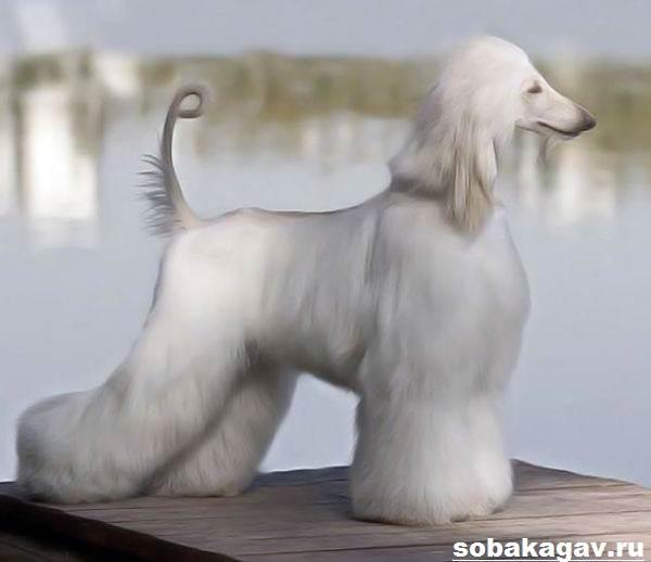 Афганская-борзая-собака-Описание-особенности-уход-и-цена-афганской-борзой-8