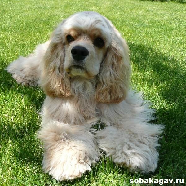Американский-кокер-спаниель-собака-Описание-уход-и-цена-американского-кокер-спаниеля-10