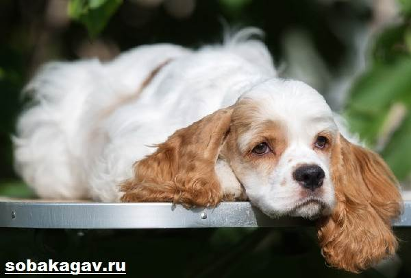 Американский-кокер-спаниель-собака-Описание-уход-и-цена-американского-кокер-спаниеля-2