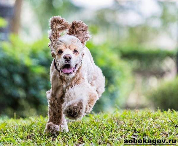Американский-кокер-спаниель-собака-Описание-уход-и-цена-американского-кокер-спаниеля-9