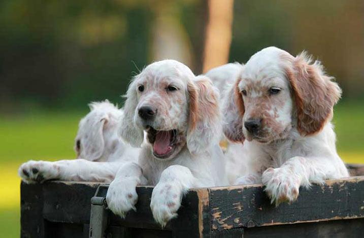 Покупать щенка следует только в питомнике или у заводчика, которого порекомендуют в клубе