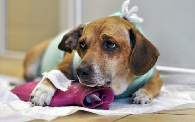 можно ли самостоятельно вытащить посторонний предмет у собаки из лапы
