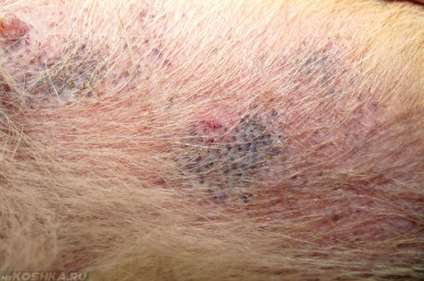 Атопический дерматит у собаки в увеличенном виде