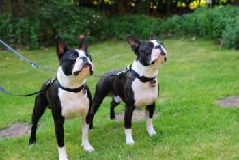 бостон-терьер_собака для пожилого человека
