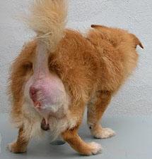 Грыжа у собаки   Вызов ветеринара на дом, скорая ветеринарная помощь