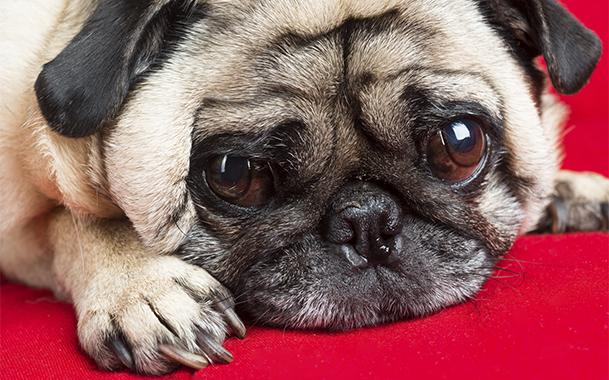 Кератит – это не единственное заболевание глаз, которое встречается у мопсов