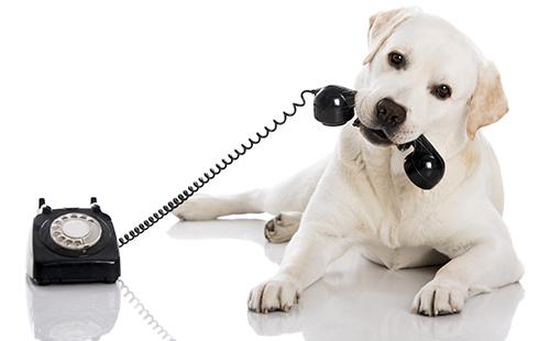 Лабрадор хочет позвонить хозяину