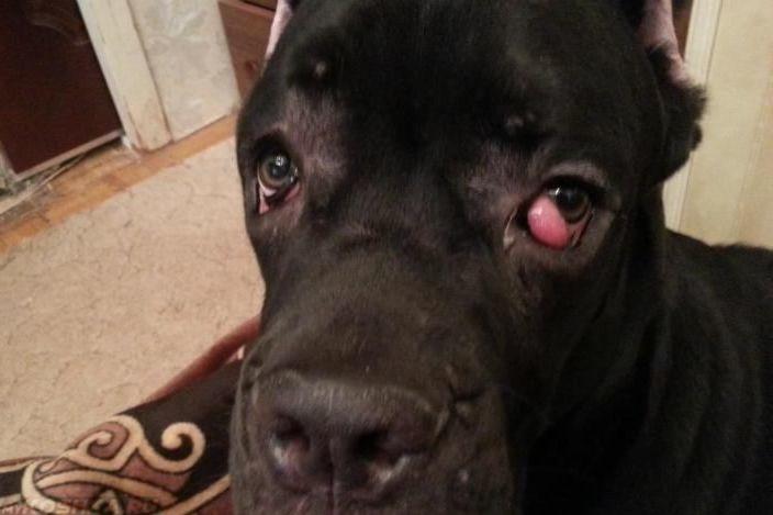 Конъюнктивит у собаки чёрного окраса