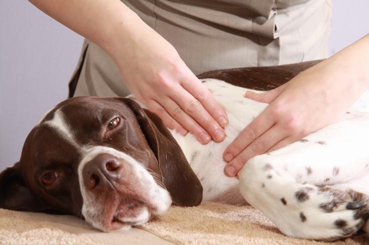 Массаж собаке по длине лап