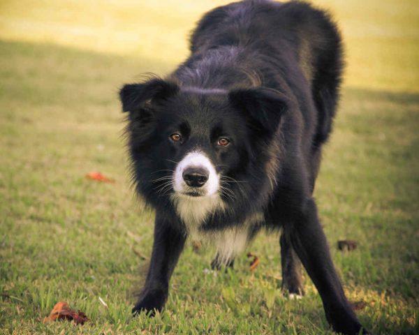 Развитие остеохондроза у собаки