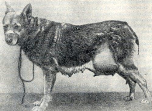 как выглядит грыжа паховая у собаки