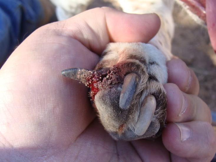 обломанные когти у собаки