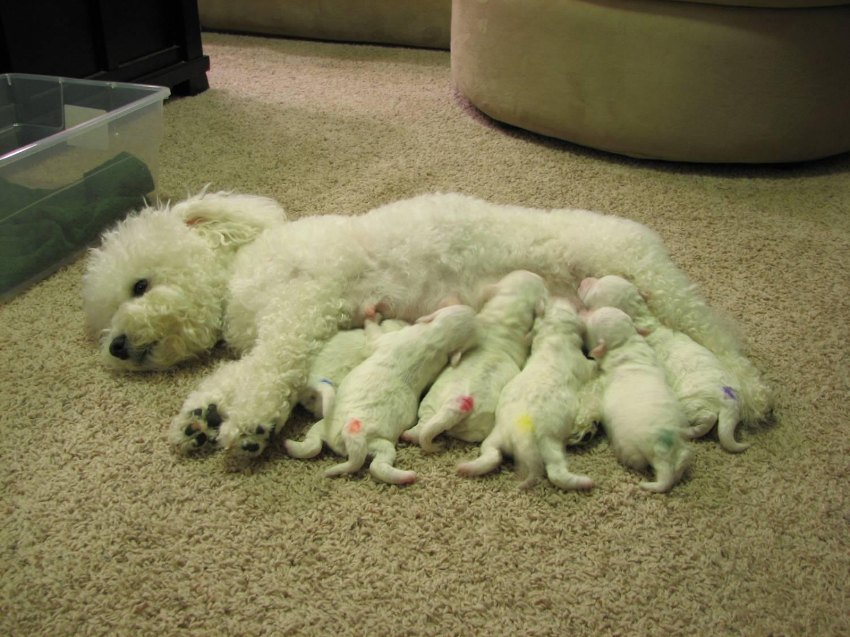 Собака бишон фризе кормящая щенков