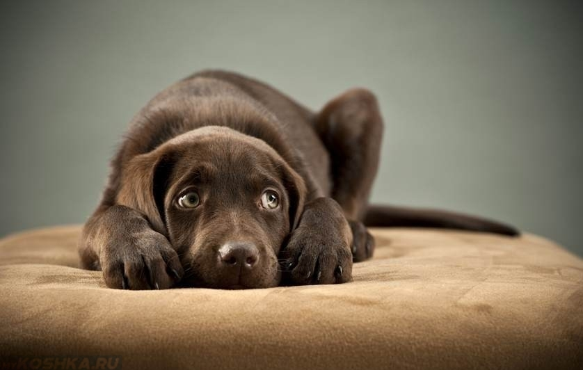 Стресс у собаки коричневого окраса