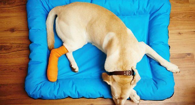 Что делать если случился вывих у собаки