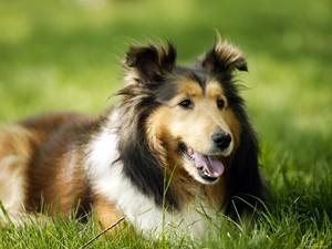 Защита собаки от паразитов каплями Инспектор
