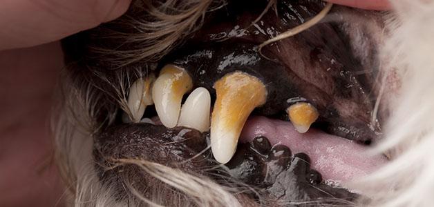Зубной камень у собак