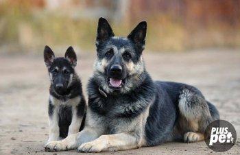 ВЕО взрослая собака (мама) со щенком