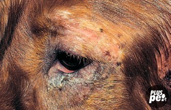 Поверхностная пиодермия. Алопеция, папулы и корки вокруг глаз этого аллергичного ирландского сеттера типичны для бактериального фолликулита.