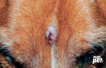 Поверхностная пиодермия. Необычное пиодермальное поражение на голове собаки с аллергией.