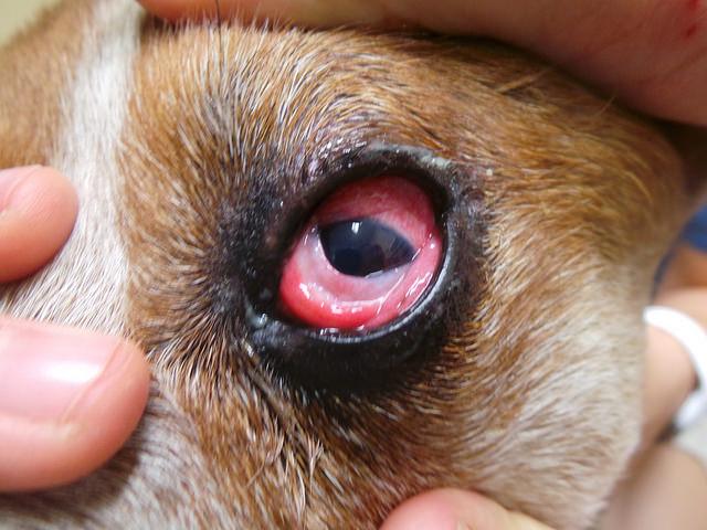 конъюнктивит у собаки на фото