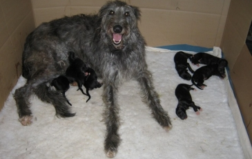 Сука дирхаунда с щенками