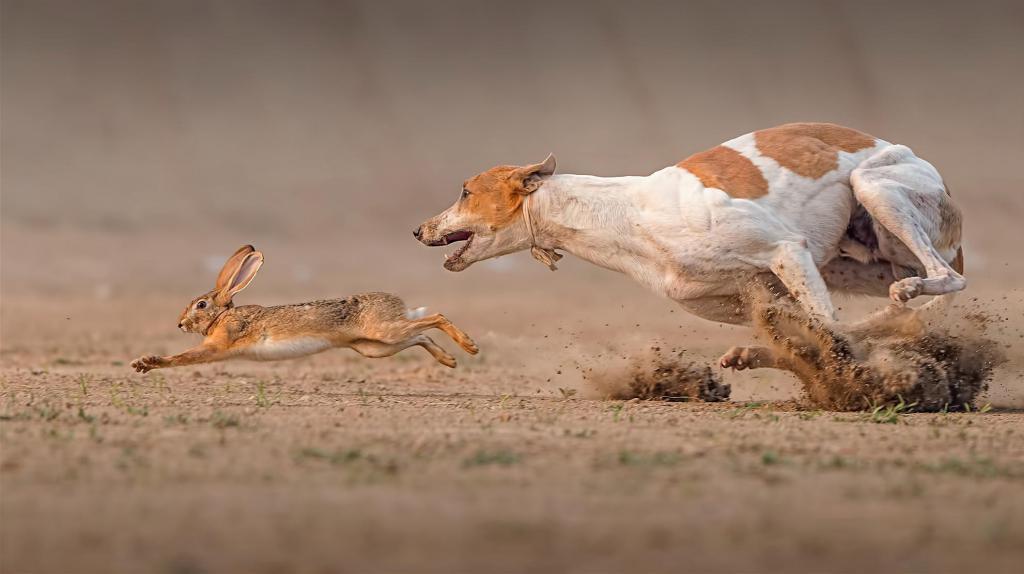 Охота с гончими собаками на зайца.