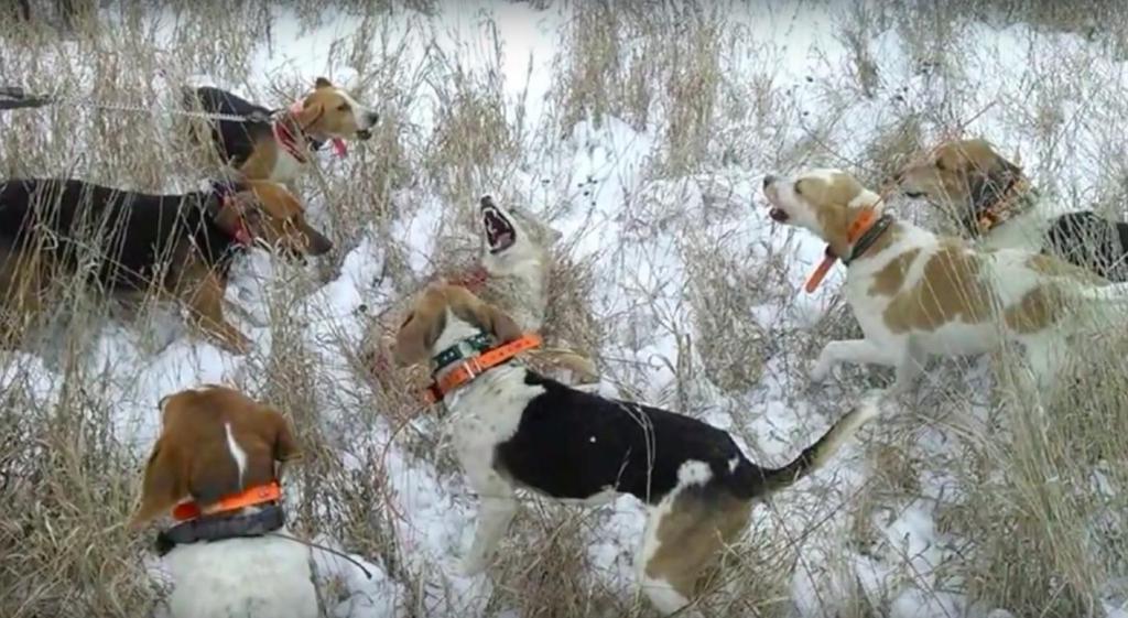 Охота с гончими собаками на волка.