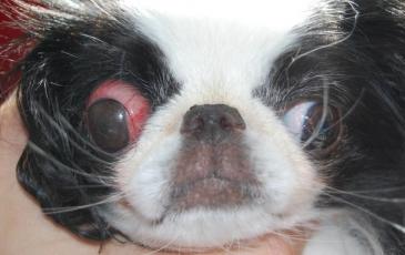 Вывих глазного яблока у собак