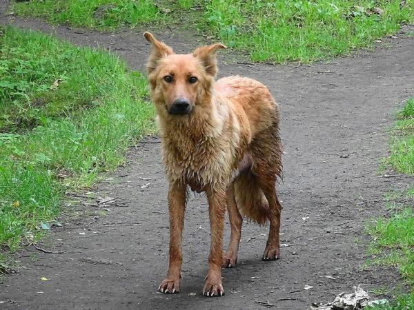 Гингивит может привести к истощению собаки