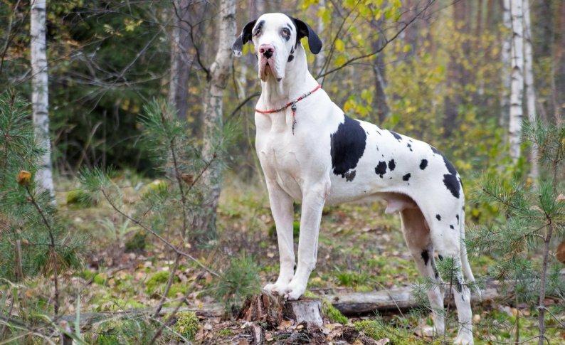 Уход за собакой немецкий дог