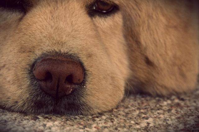 ринит у собаки