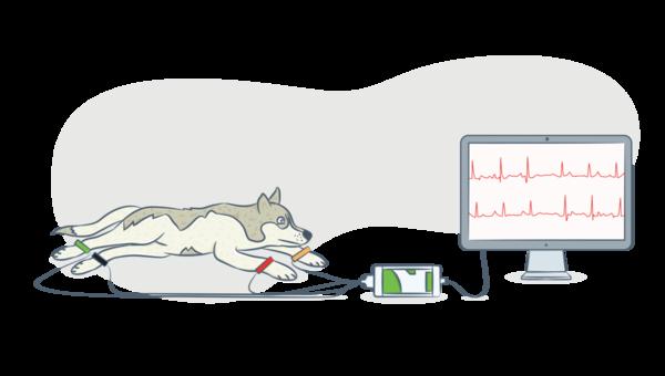 ЭКГ (электрокардиограмма) проводится для пожилых питомцев