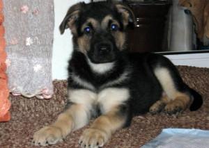 Фото щенка ВЕО 2 месяца