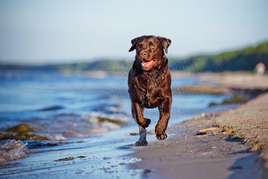 Лабрадоры очень любят нырять и плавать – это занятие приносит им массу удовольствия