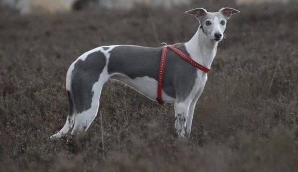 Уиппет - красивая собака