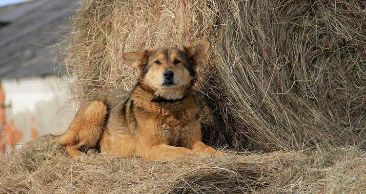Собака на сене
