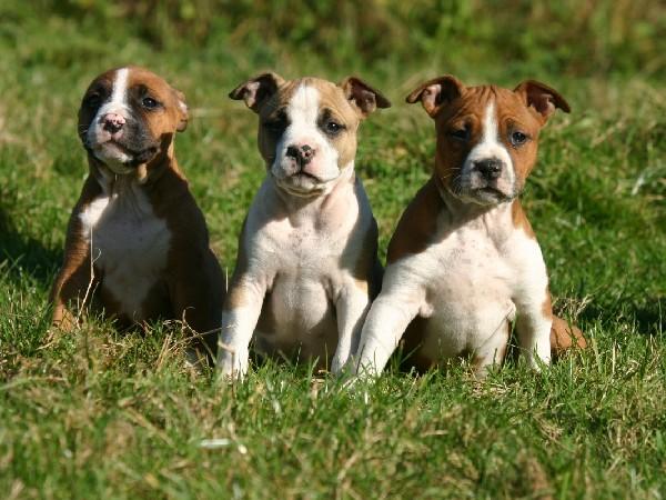Все о щенках стаффордширского терьера