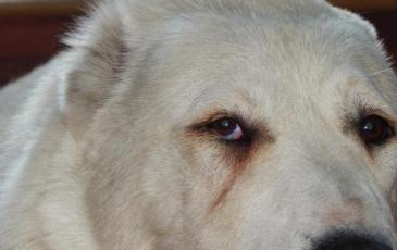 Эктропион и энтропион у собак