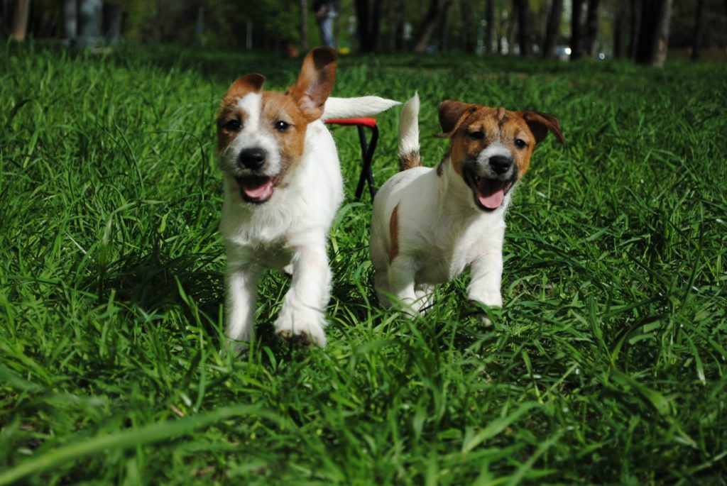 Характеристика jack russell terrier.